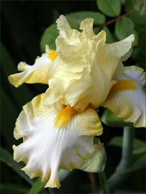 un bel iris